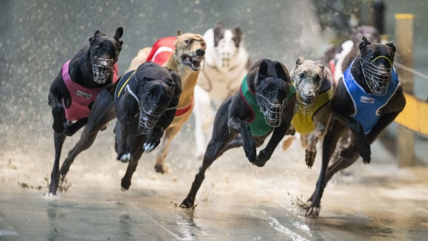 20 NSW greyhounds injured in a Saturday of suffering