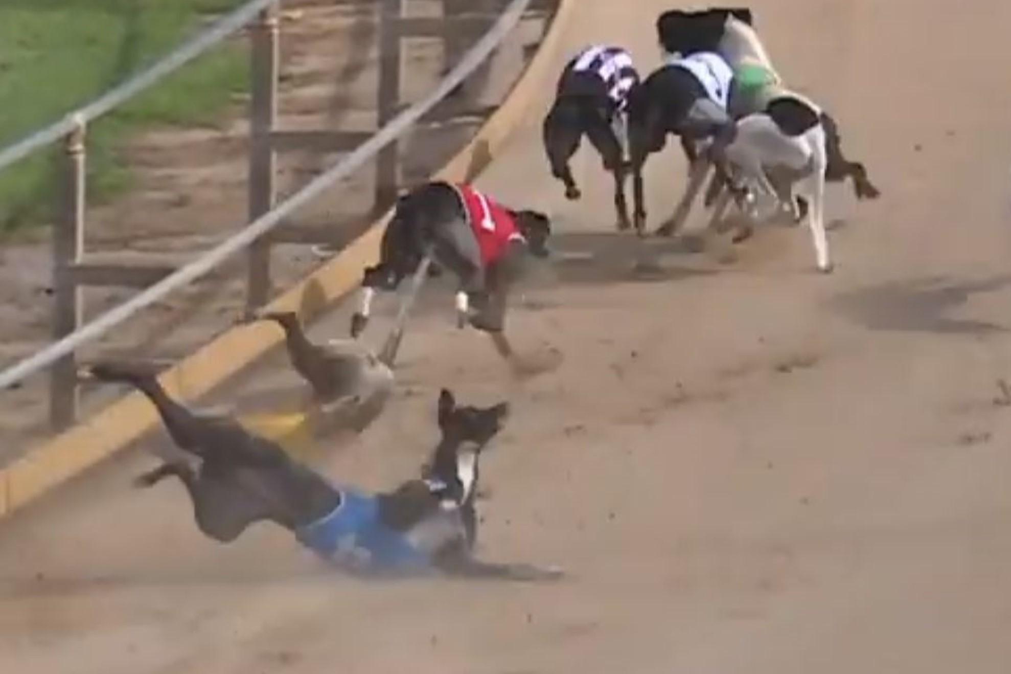 Latest greyhound skull injury highlights brutality of racing