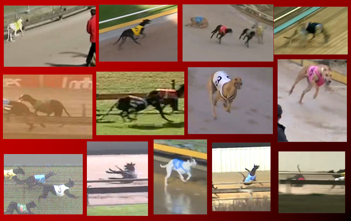 13 greyhounds killed racing in June