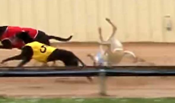 The terrible deaths of very young greyhounds
