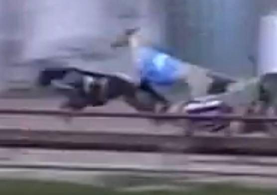 Brutal incident claims greyhound Hustle Hard